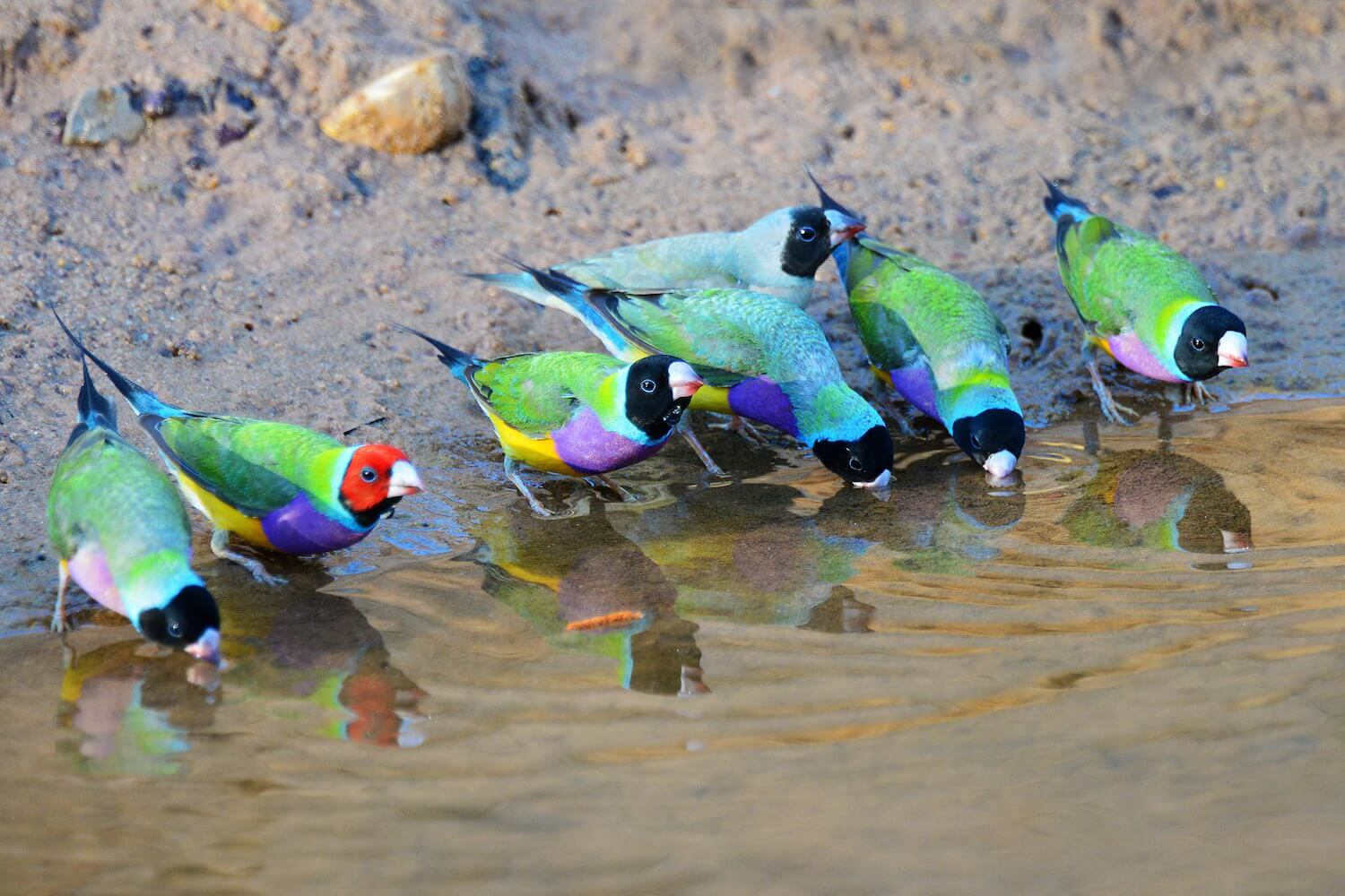 Simple Blue Prints >> Part 1: An introduction to the Gouldian finch - Planet Aviary