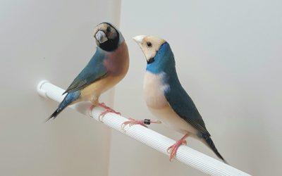 The blue Gouldian finch mutation (hen left, cock right)