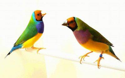 The yellow headed Gouldian finch (cock left, hen right)