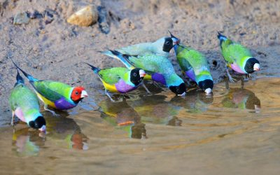 Wild Gouldian finches drinking from a watering hole | Picture by Alwyn Simple