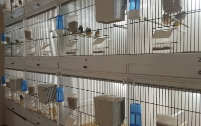 Gouldian finch pairs breeding in individual cages