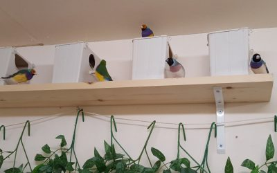 Gouldian finches in a colony breeding setting