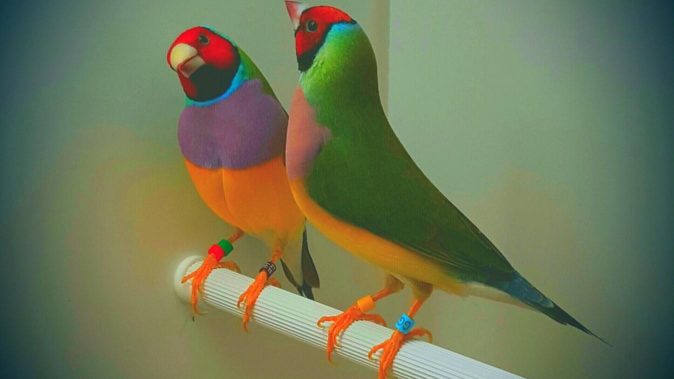 Part 4: Gouldian finch breeding - Planet Aviary