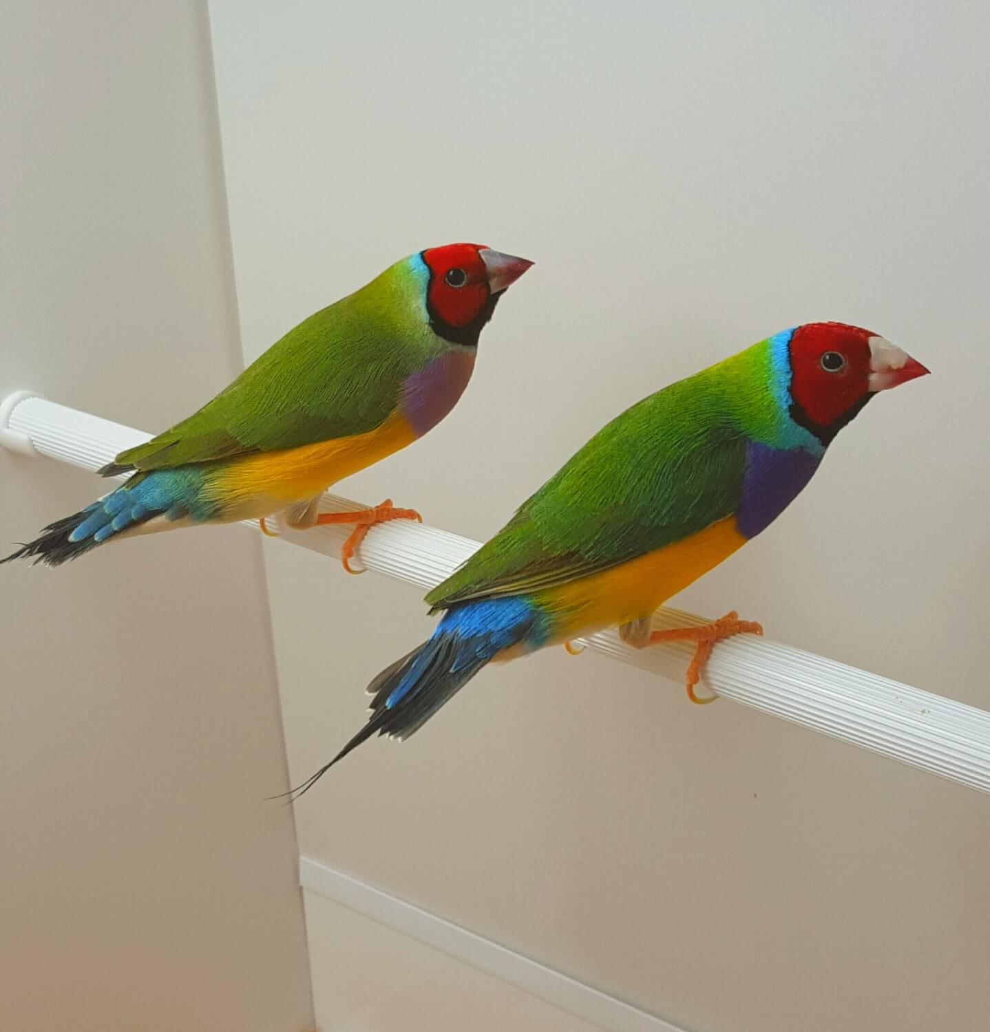 Part 5: Gouldian finch health care - Planet Aviary