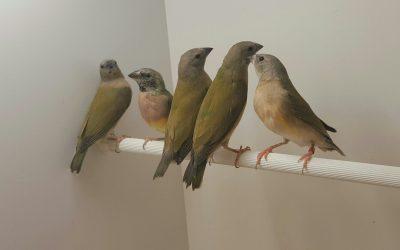 Juvenile birds colouring up