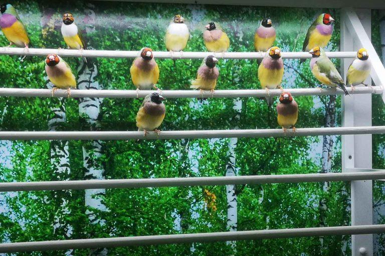 Our new Gouldian Finch Aviarium